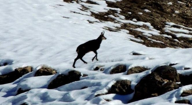 Çengel boynuzlu dağ keçisi (Şamua)