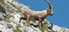 Dersim'de dağ keçilerinin avlanmaması için imza kampanyası