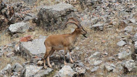 Dersim'in kutsalları: Dağ keçileri