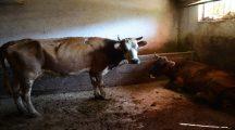 Tarım ve Hayvancılık İl Müdürlüğü: Ovacık'ta hayvanların ölüm nedeni şarbon